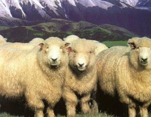 Лучшие породы овец