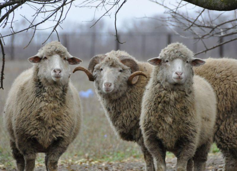 Разведение Овец На Мясо Видео