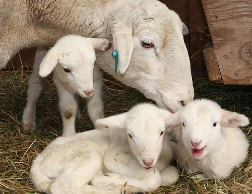 Стрижка овец