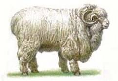Ставропольская порода овец